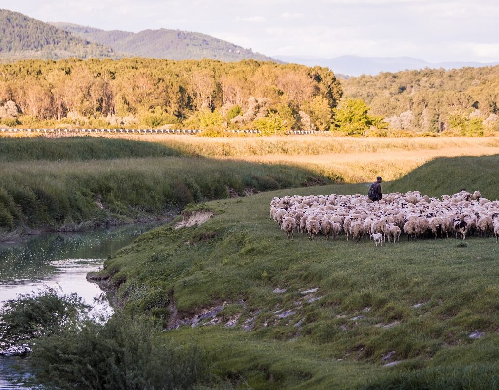 sheeps and a shepherd near the river